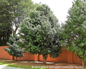 A Podocarpus henkelli grown on a pavement outside a housing estate.