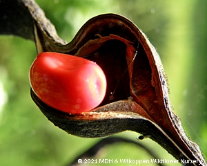 The red seeds of Erythrina humeana plants remain attached after the pods  split open.