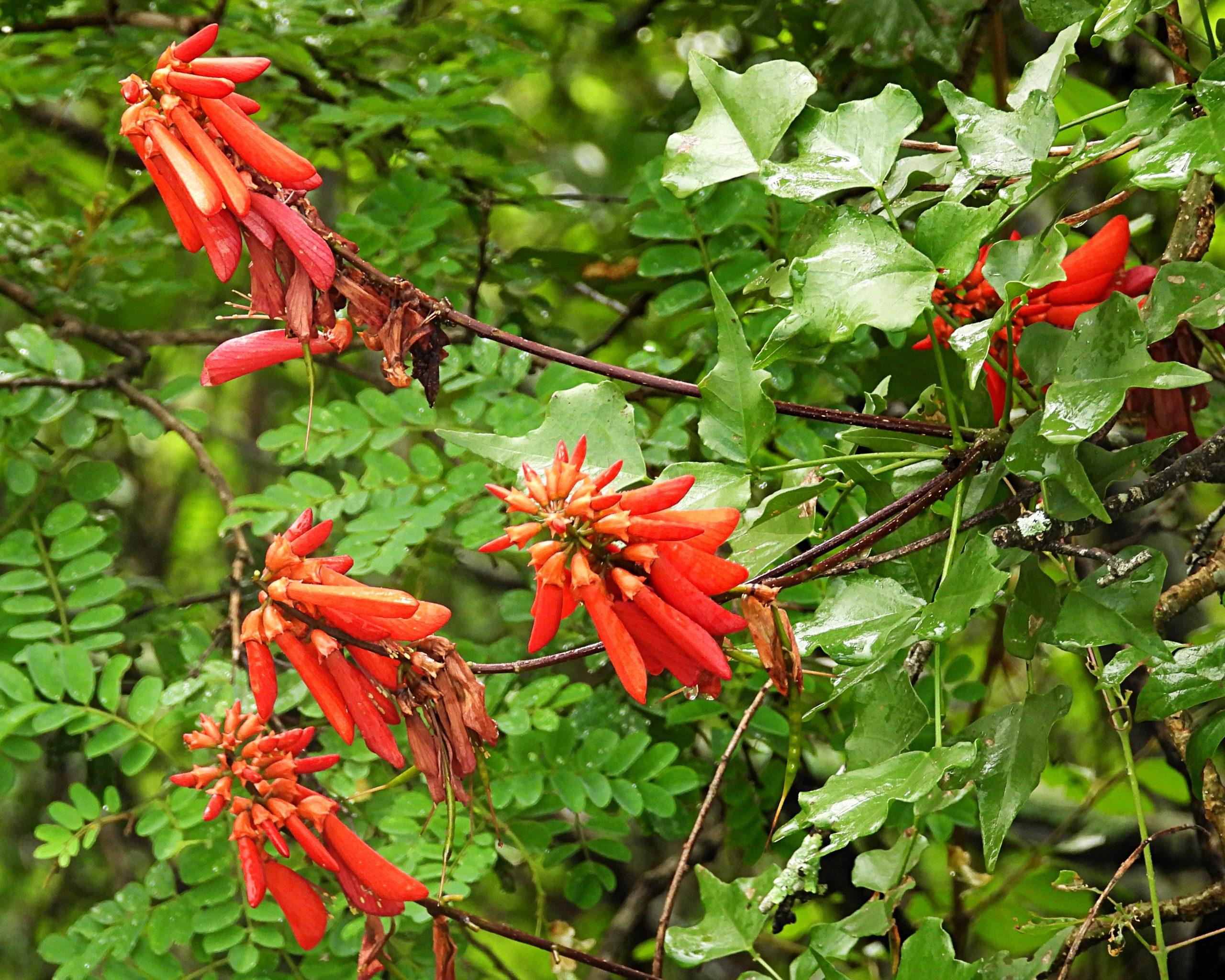 A photograph of a flowering Erythrina humeana in habitat in Weenen Nature Reserve.