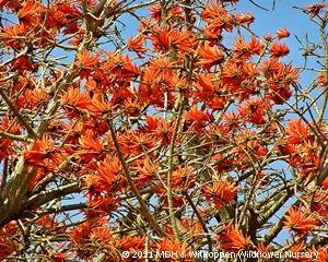 Erythrina lysistemon is spectacular in full flower.