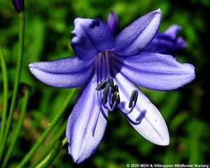 An attractive Agapanthus hybrid flower.