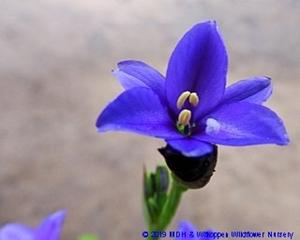 Aristea ecklonii flowers are white to deep blue.