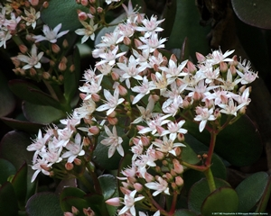 Crassula ovata flowers are small white star-shaped in tight round clusters.