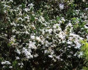 Jasminum stenelobum flowers.