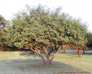 Senegalia caffra is a well shaped tree.